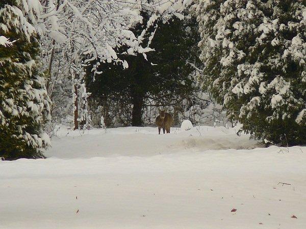 chevreuil-dans-la-neige1