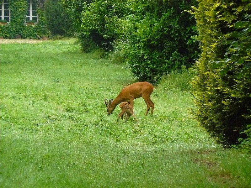 chevreuil-et-faon-devant-la-maison dans la ferme nature