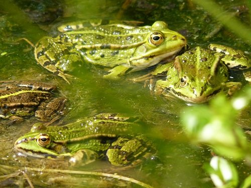 grenouille-dans-la-mare-3