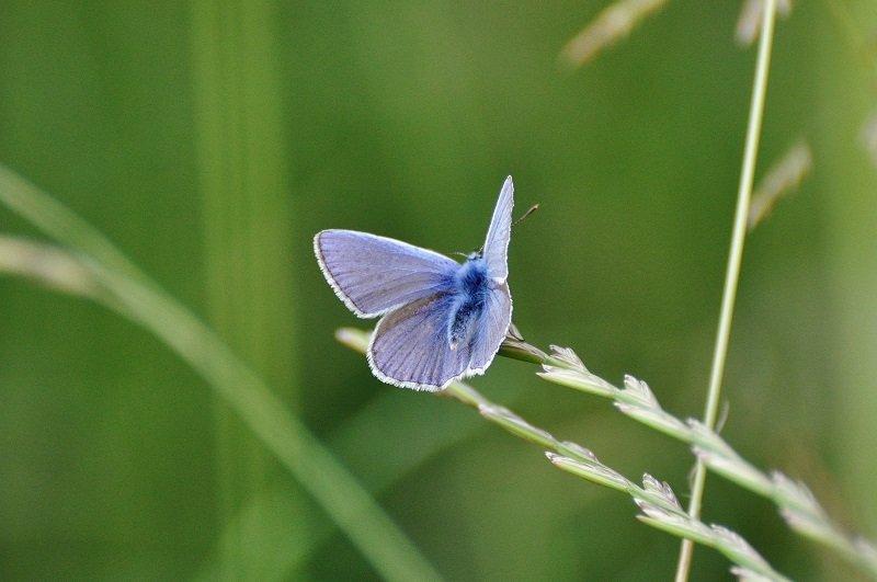 Argus bleu ou Azuré commun ou Azuré de la Bugrane (Lysandra bellargus mâle)