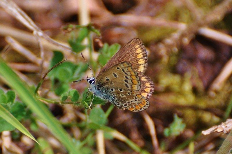 Argus bleu ou Azuré commun ou Azuré de la Bugrane  (Lysandra bellargus femelle)