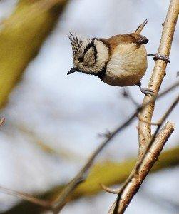 Mésange huppée (Lophophanes cristatus, ancien  Parus cristatus)