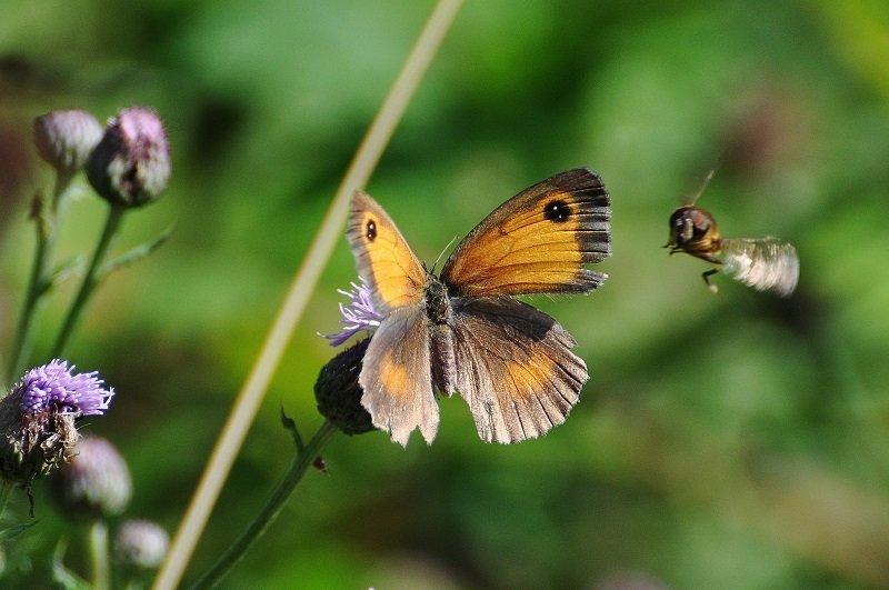 Amaryllis  ou Satyre tithon (Pyronia tithonus femelle)