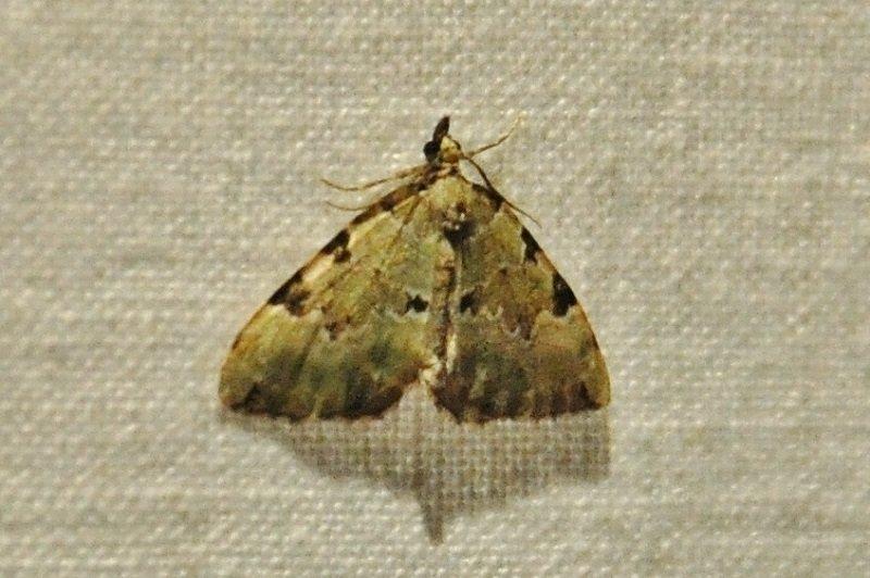 cidarie verdâtre ( Colostygia pectinataria )