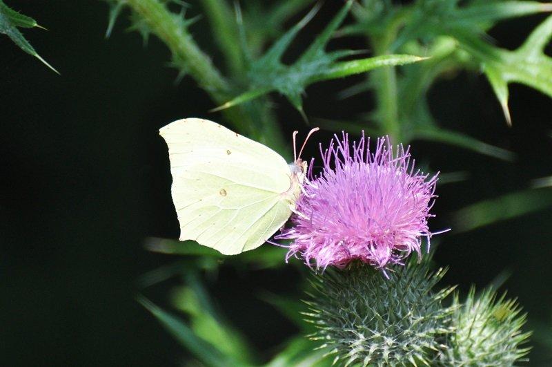 Citron (Gonepteryx rhamni)