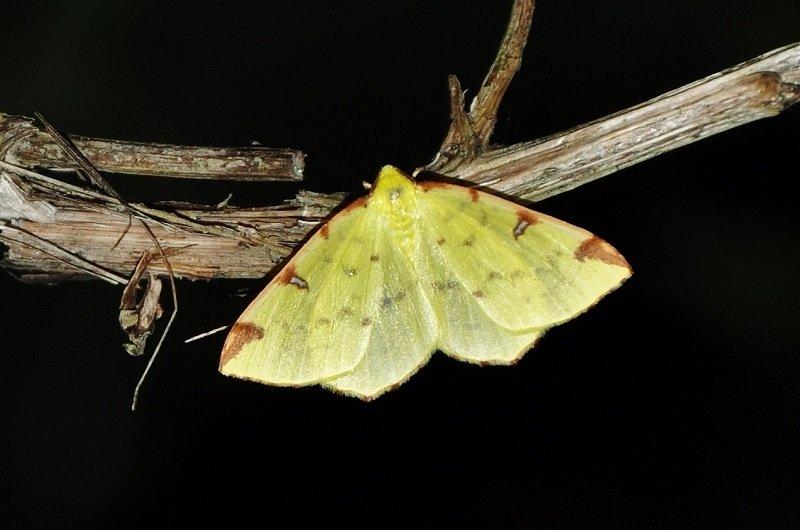 Citronnelle rouillée (Opisthograptis luteolata)