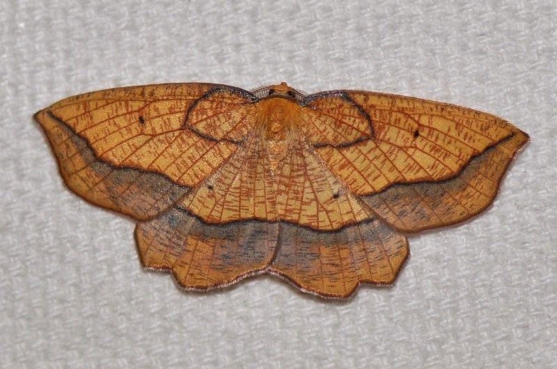 Epione marginée ( Epione repandaria ) mâle
