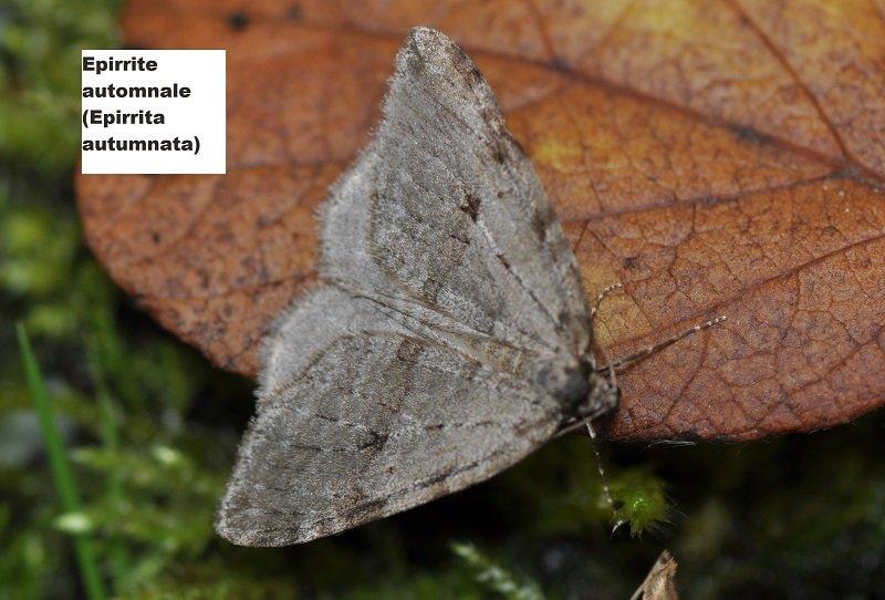 Epirrite automnale (Epirrita autumnata)