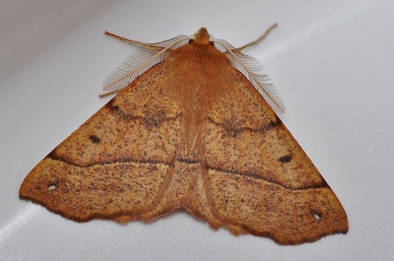 Himère plume (Colotois pennaria)