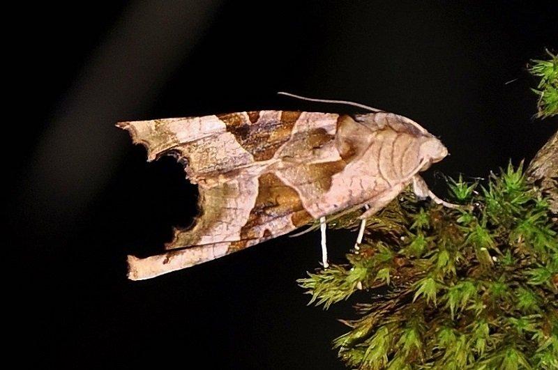 méticuleuse ou Craintive (Phlogophora meticulosa)