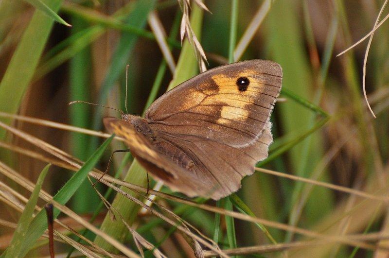 Le Myrtil (Maniola jurtina) femelle