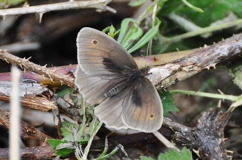 Le Myrtil (Maniola jurtina) mâle