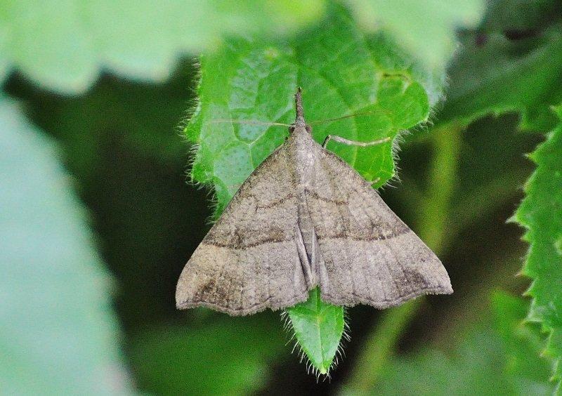 Noctuelle à museau (Hypena proboscidalis)