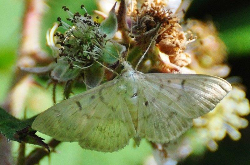 Pyrale du houblon (Pleuroptya ruralis)