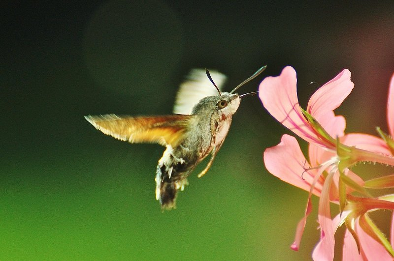 sphinx colibri ou Moro sphinx ou Sphinx du caille-lait (Macroglossum stellatarum),