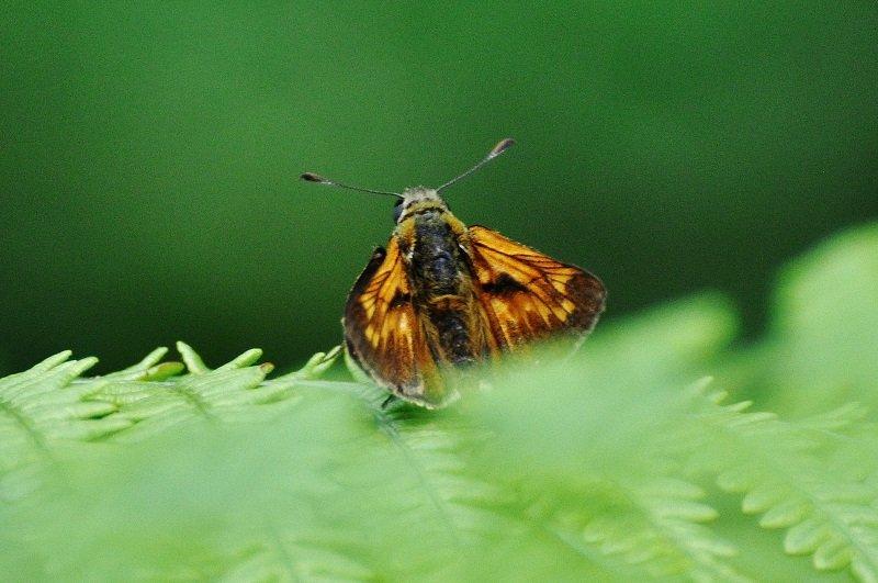 Sylvaine (Ochlodes sylvanus) ou Hespérie sylvaine mâle
