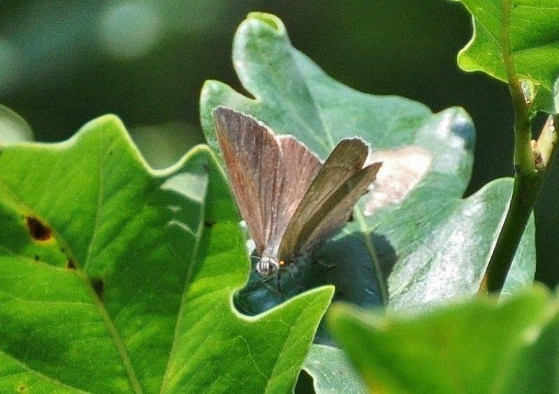 Thécla du chêne (Neozephyrus quercus)