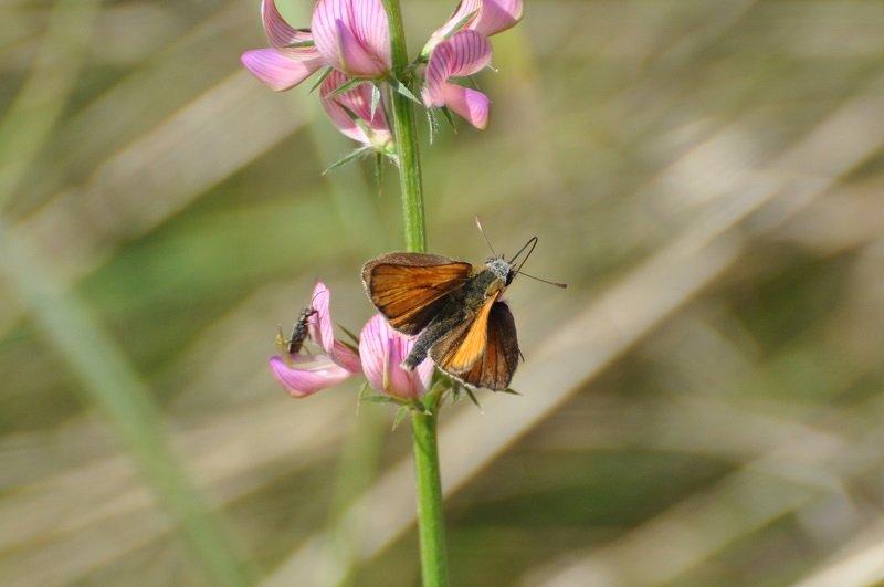 Hespérie du dactyle ou le Ligné ou Hespérie orangée (Thymelicus lineola)