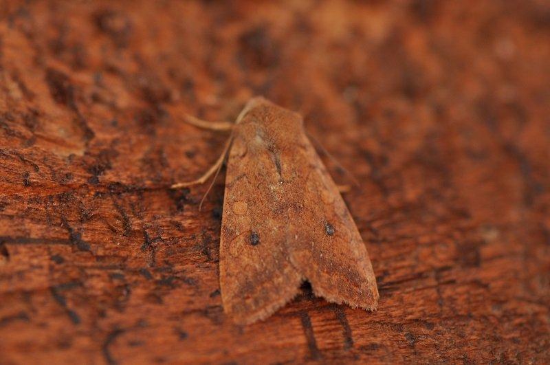 Xanthie ferruginée ou la fauvette (Agrochola circellaris)