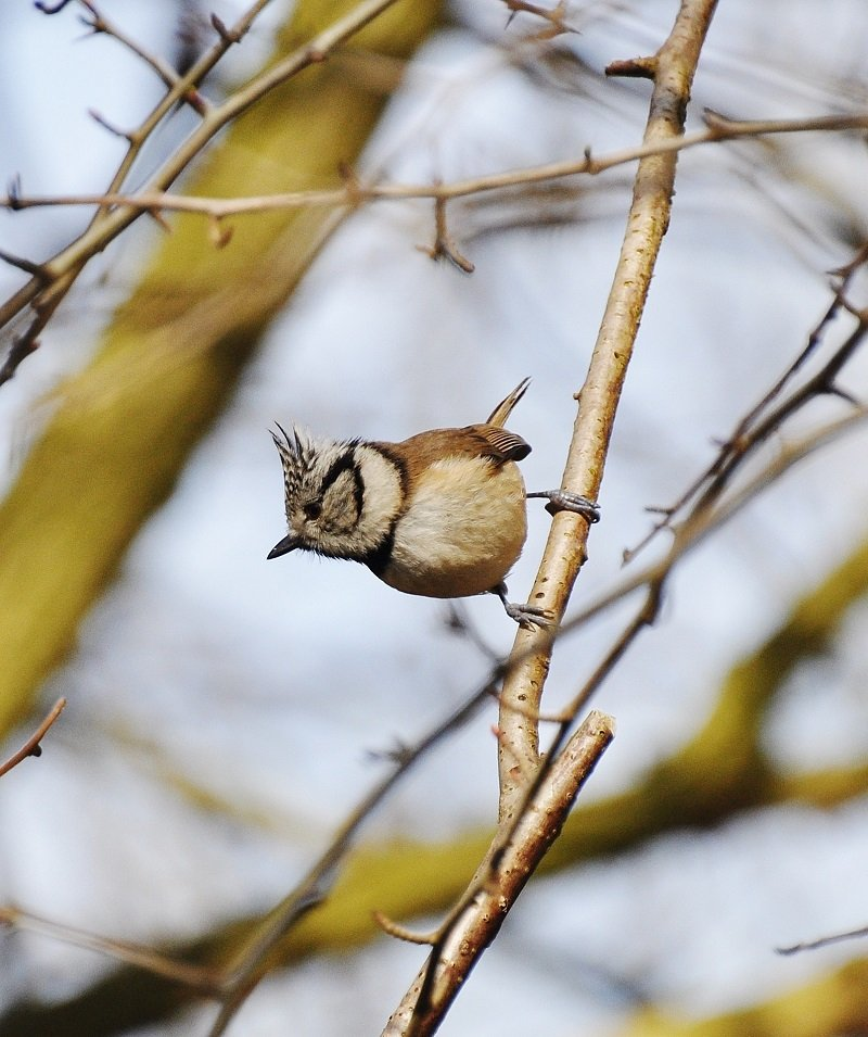 Mésange huppée (Lophophanes cristatus, anciennement Parus cristatus)